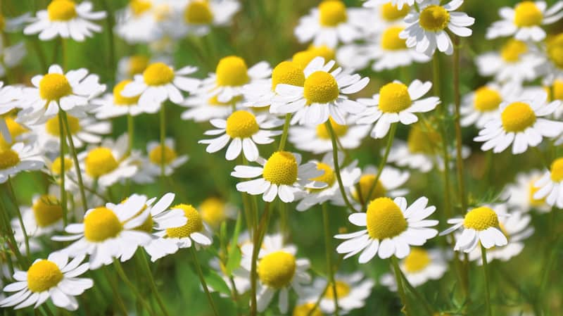 Chamomila flowers
